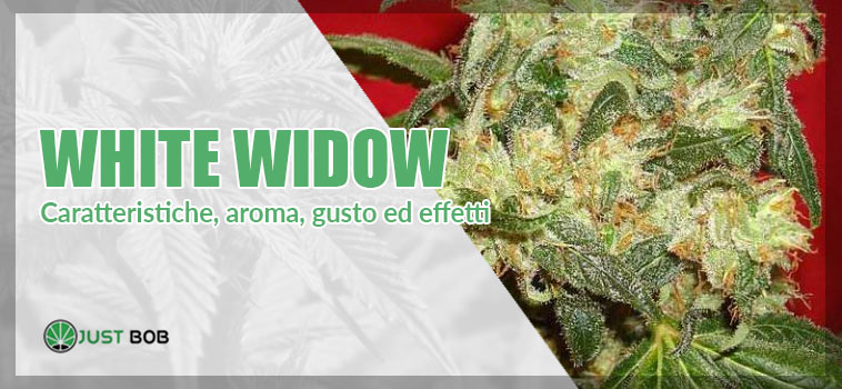 white widow marijuana