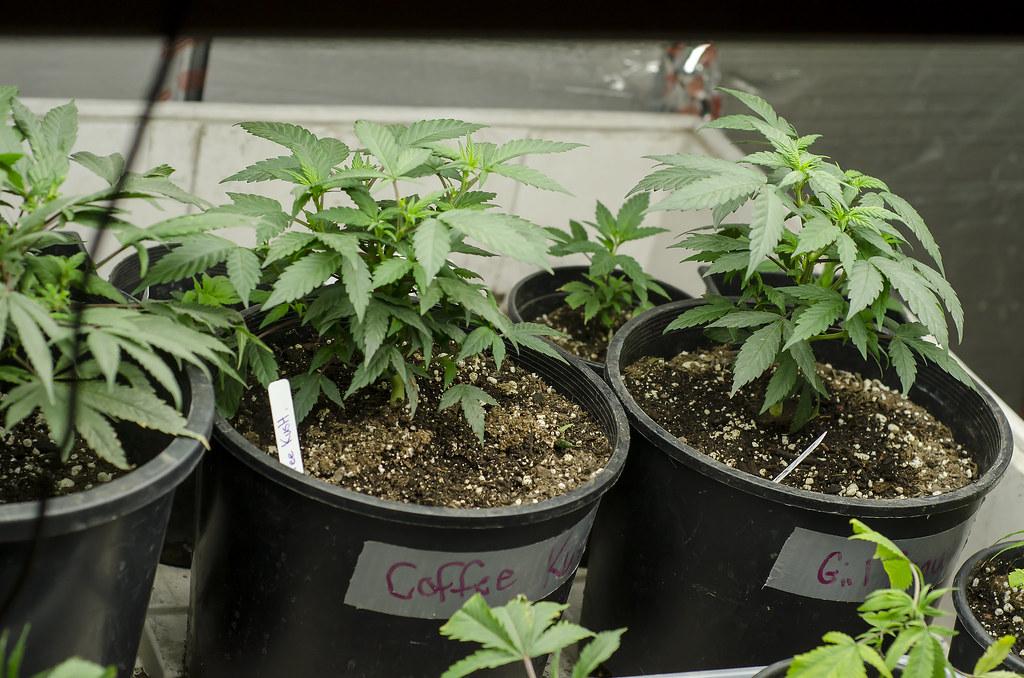 marijuana legale: quante piante si possono coltivare in spagna