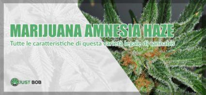amnesia marijuana legale