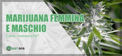 marijuana femmina