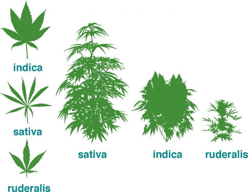 migliori varietà di cannabis