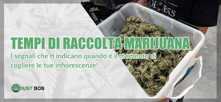 raccolta marijuana