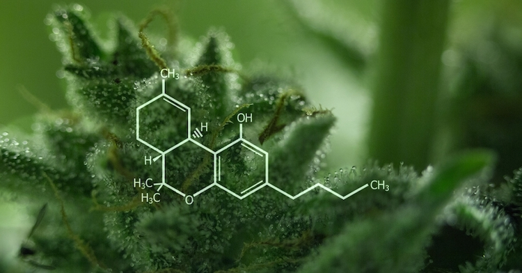 thc hashish e marijuana