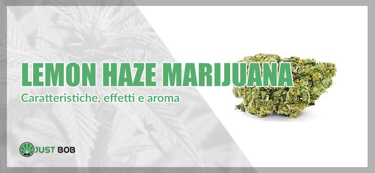 lemon haze marijuana
