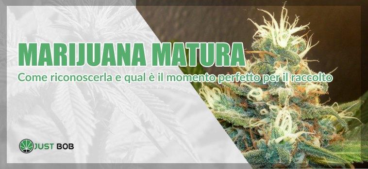 marijuana matura
