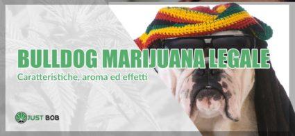 bulldog marijuana