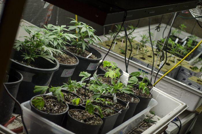 libri coltivazione cannabis