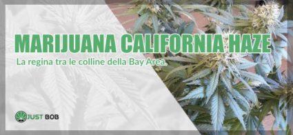 marijuana California Haze