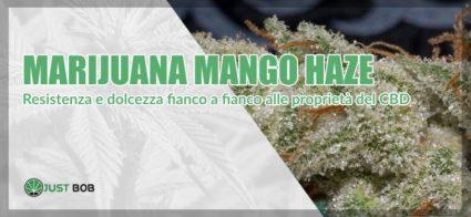 marijuana Mango Haze light