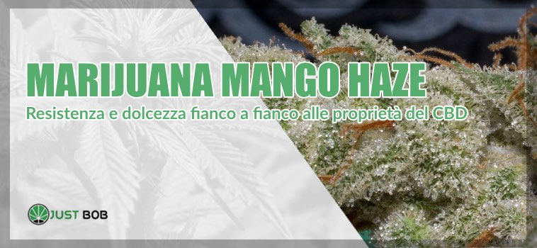 marijuana Mango Haze light