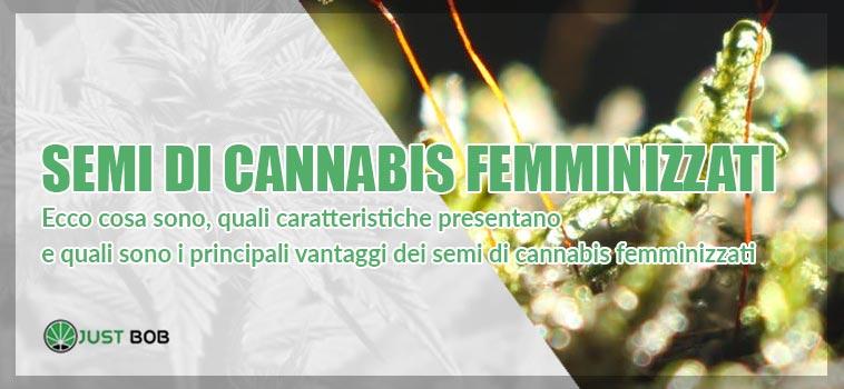 semi di cannabis femminizzatii