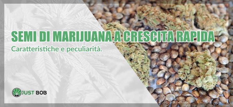 semi di marijuana a crescita rapida