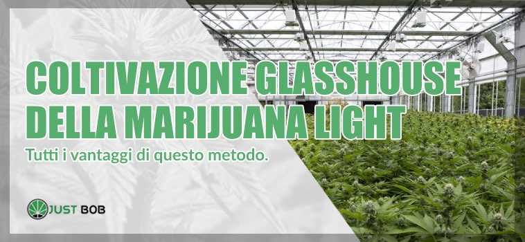 sweetberry marijuana light coltivazione glasshouse