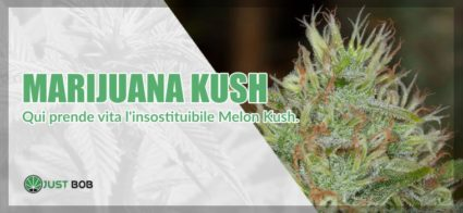 marijuana Master Kush genitore della melon kush