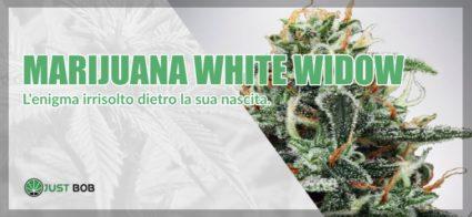 origini White Widow marijuana