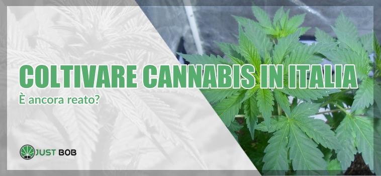 coltivare cannabis è legale in Italia?