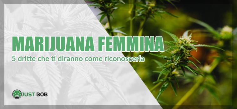 come riconoscere marijuana femmina
