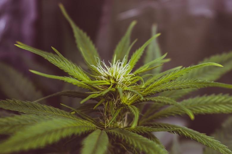in Italia si può coltivare cannabis in casa