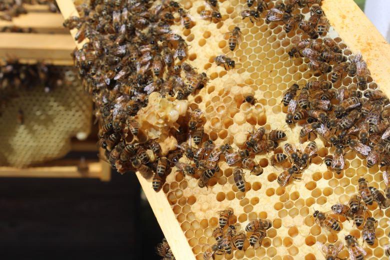 sopravvivenza api e coltivazione di cannabis