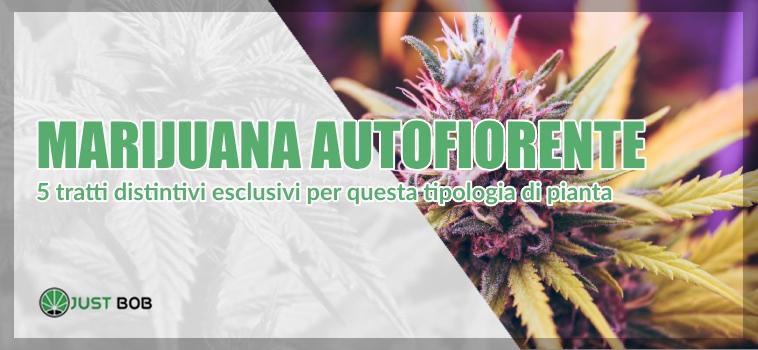 Marijuana autofiorente light