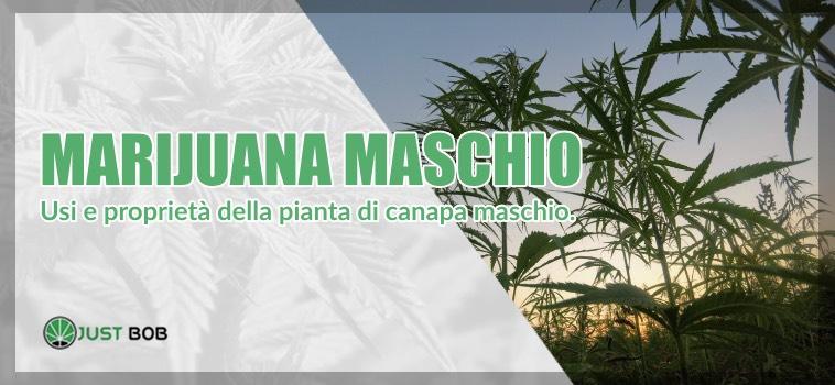 Marijuana maschio utilizzi
