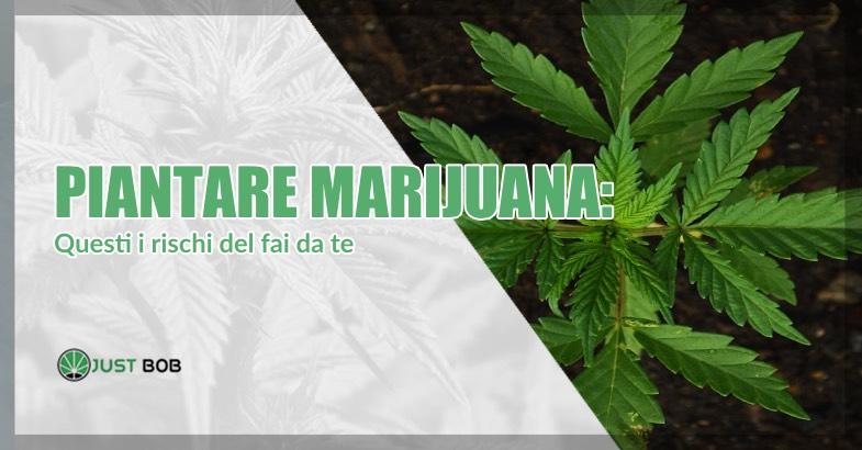 Piantare marijuana rischi