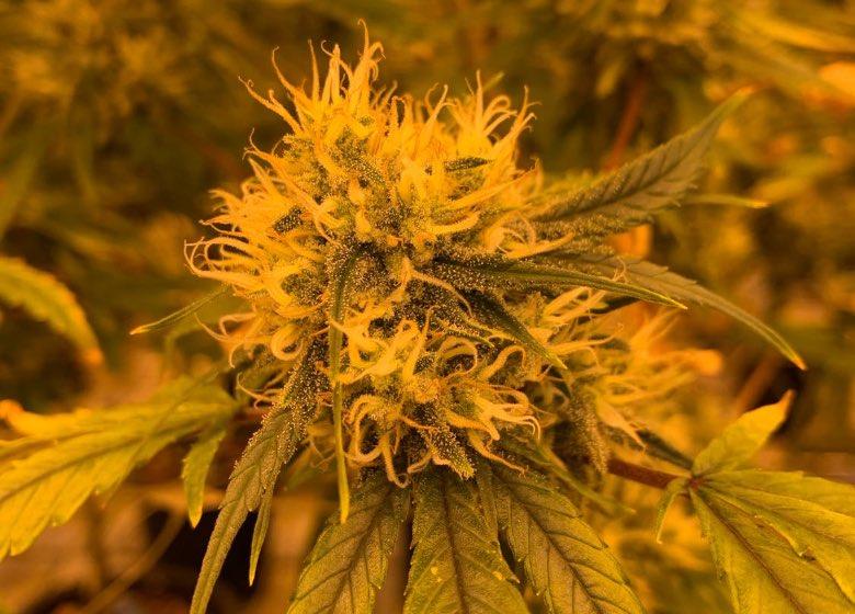 coltivare marijuana ad Amsterdam