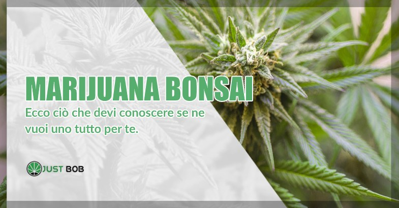 Marijuana bonsai di canapa light