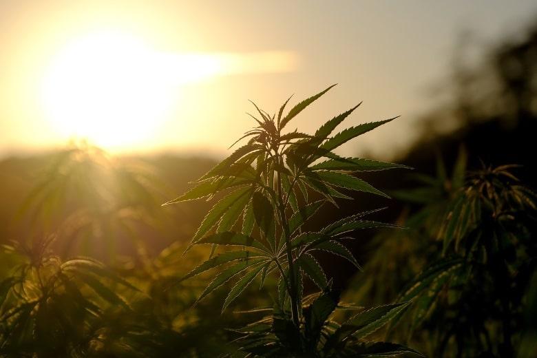 piantare cannabis rischi e perché acquistare cannabis light