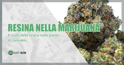 Resina nella marijuana legale e classica