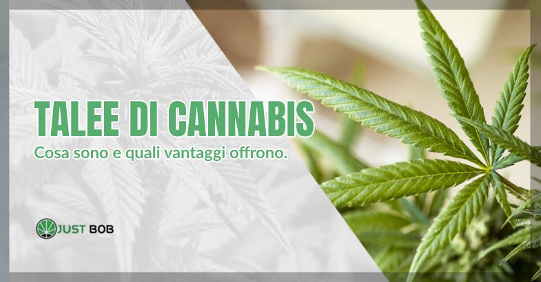 Talee cannabis light e classica