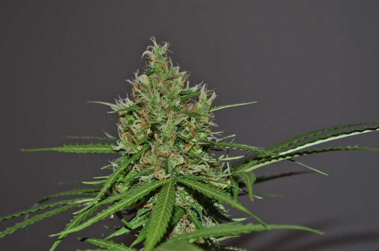 talee cannabis legale