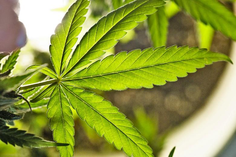 talee cannabis light