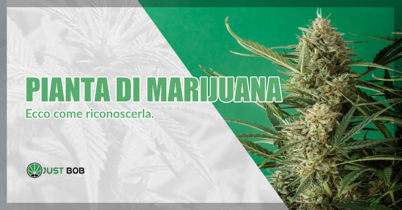 Come riconoscere una pianta di marijuana