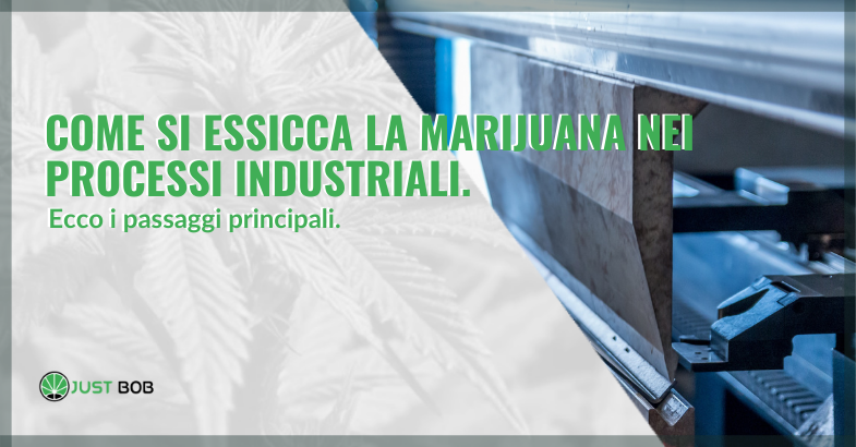 Come si essicca la marijuana nelle industrie