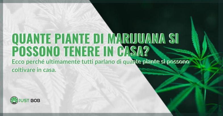 Quante piante di cannabis è permesso tenere a casa?