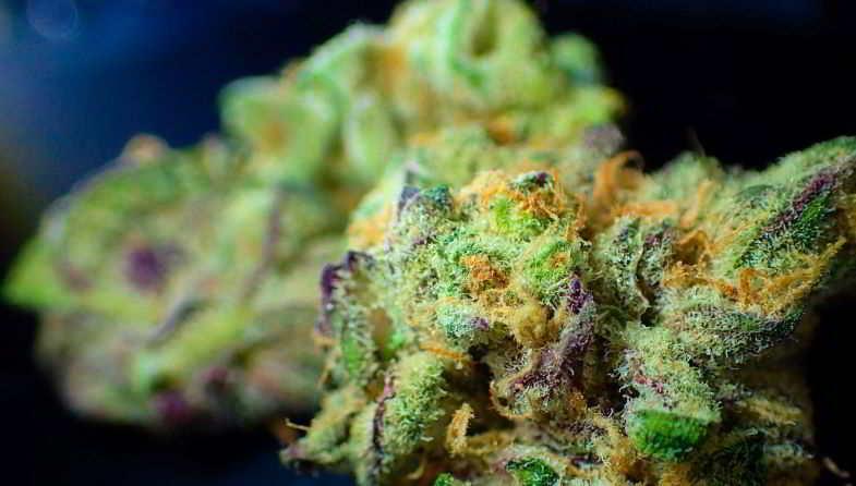 Ecco la pianta con THC più elevato: la Padrino OG.