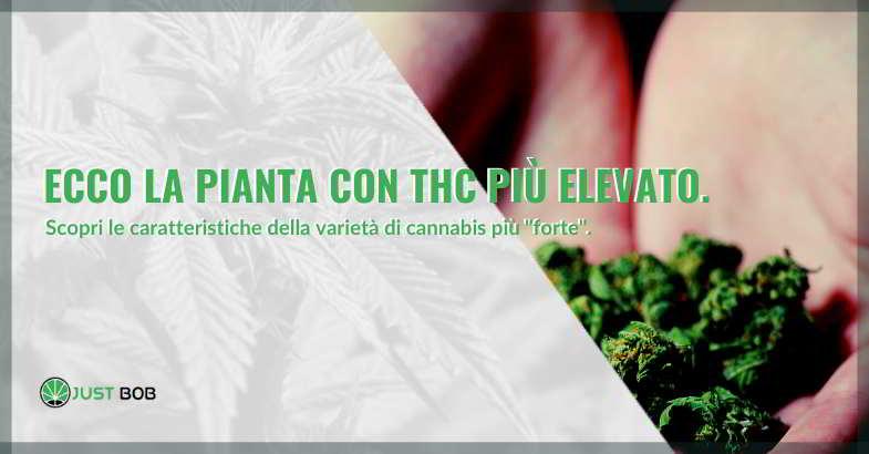 Scopri la pianta con THC più elevato.