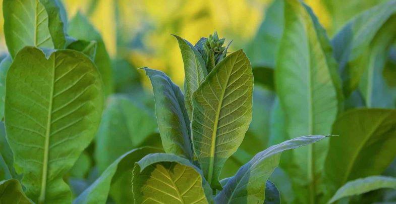 Si può coltivare tabacco in Italia.