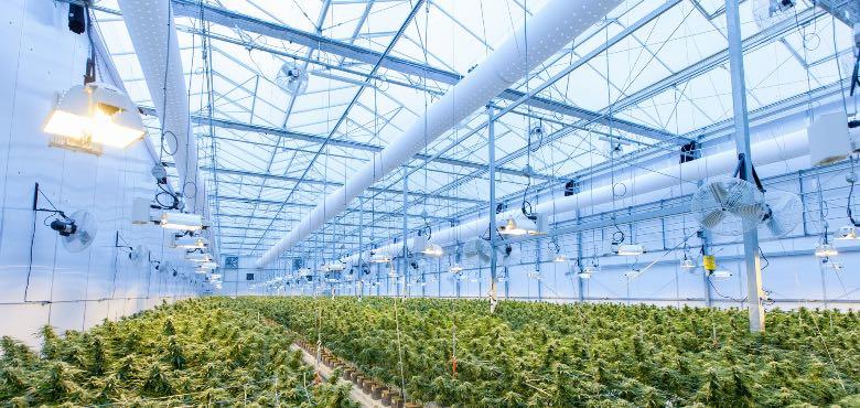 coltivazione di California skunk cbd in glasshouse