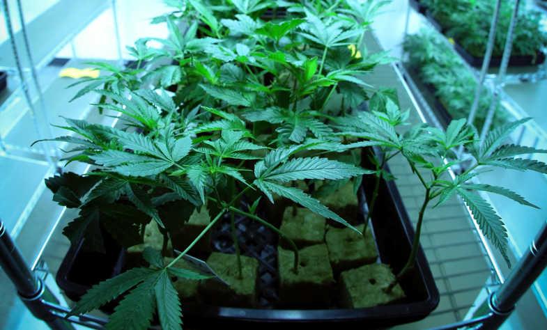 La cannabis light gode di notevoli vantaggi con la coltivazione aeroponica