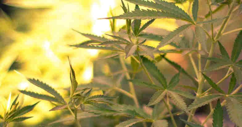 Come si essicca la marijuana light