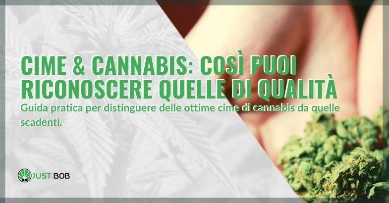 Impara a distinguere una cima di cannabis di qualità da una scadente