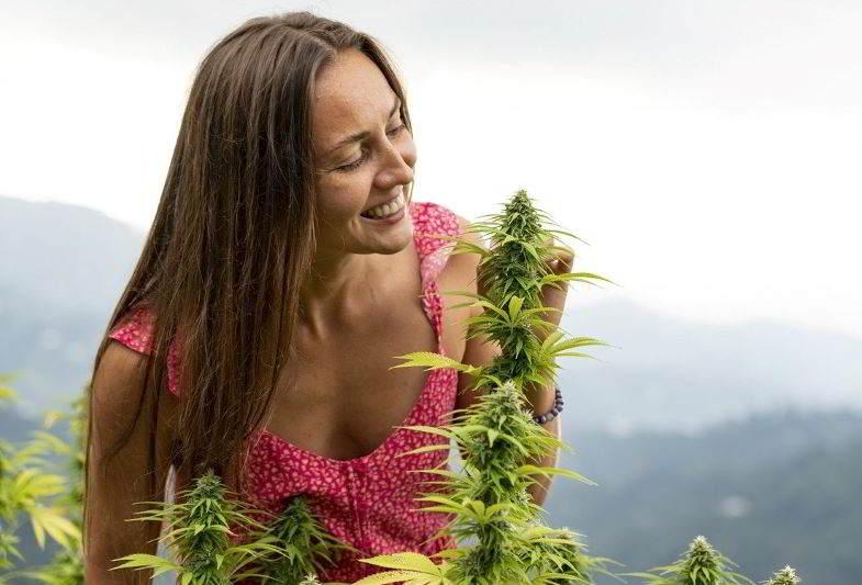 aroma di cannabis nella piantagione