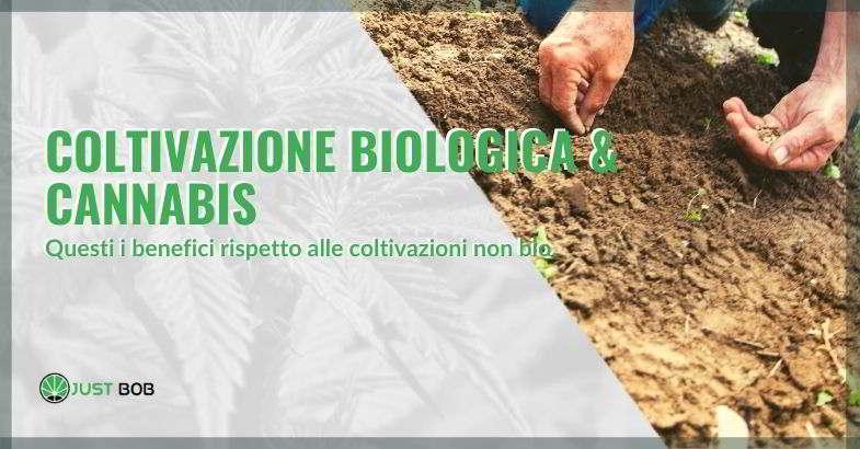 coltivazione biologica della canapa legale