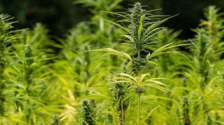 Coltivazione biologica della cannabis