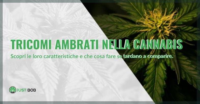 tricomi ambrati nella cannabis