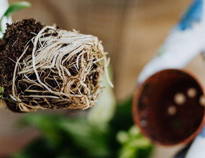 aggrovigliamento delle radici della marijuana