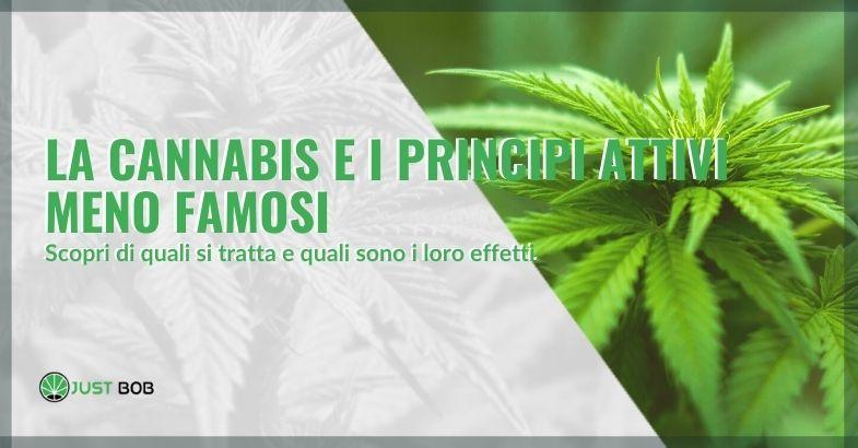 la cannabis e i principi attivi meno famosi