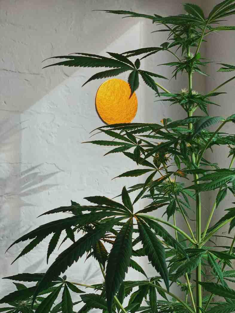 I cannabinoidi della marijuana permettono di influenzare efficacemente il sistema nervoso e alleviare i sintomi della nausea